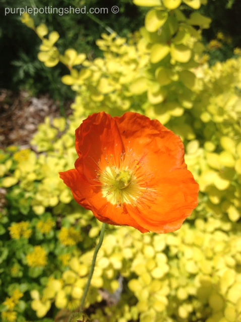 Icelandic poppy.jpg