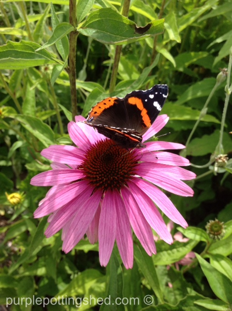 Cone flower with butterfly.jpg