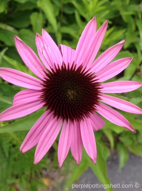 Cone flower, purple, 1.jpg