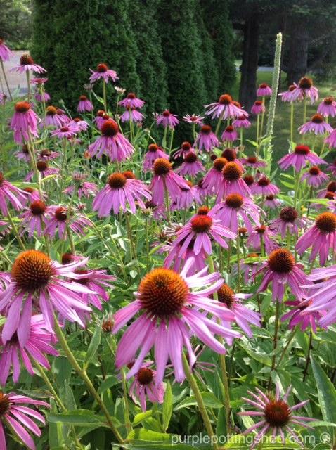 Cone flower, purple, 5.jpg