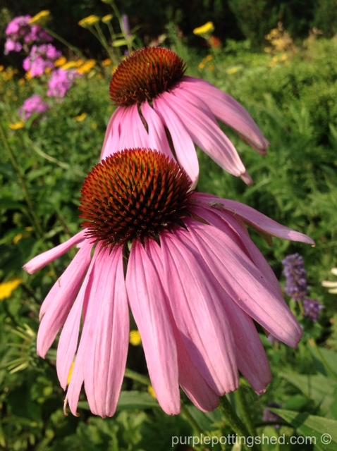 Cone flower, purple, 6.jpg