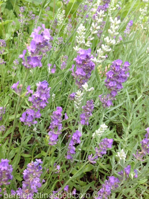Lavender in bloom.jpg