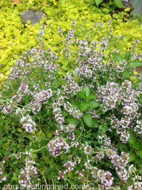 Thyme in bloom.jpg