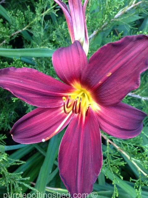 Daylily 7.jpg