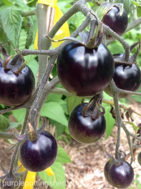 Tomatoes in black.jpg