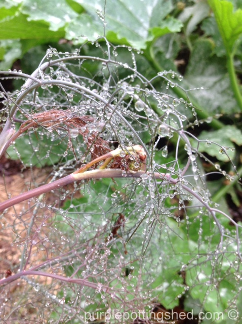 Fennel after rain.jpg