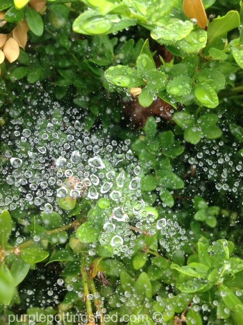 Spiderweb on boxwood after rain.jpg