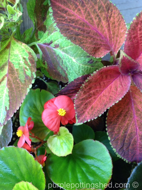 Begonia and coleus.jpg