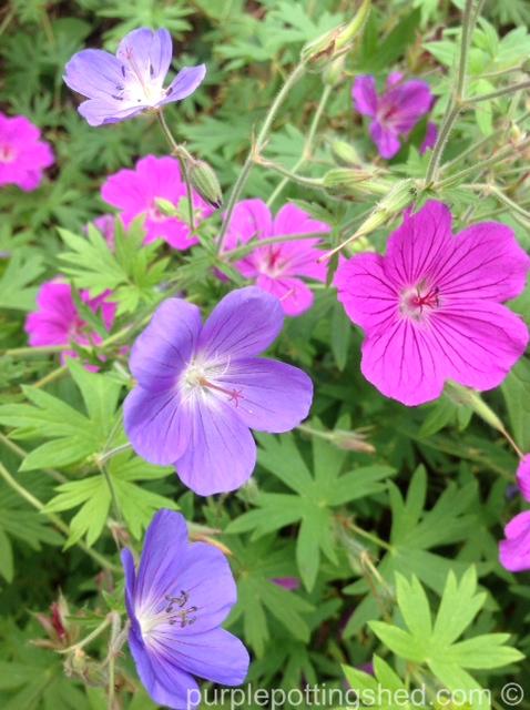 Hardy geranium intermingled.jpg