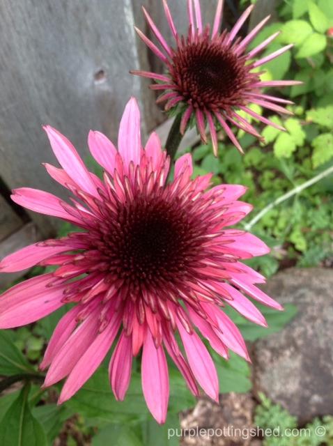 Cone flower, 'supreme elegance', early bloom.jpg
