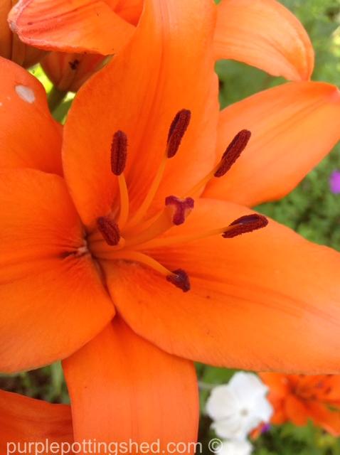 Asiatic lily, orange.jpg