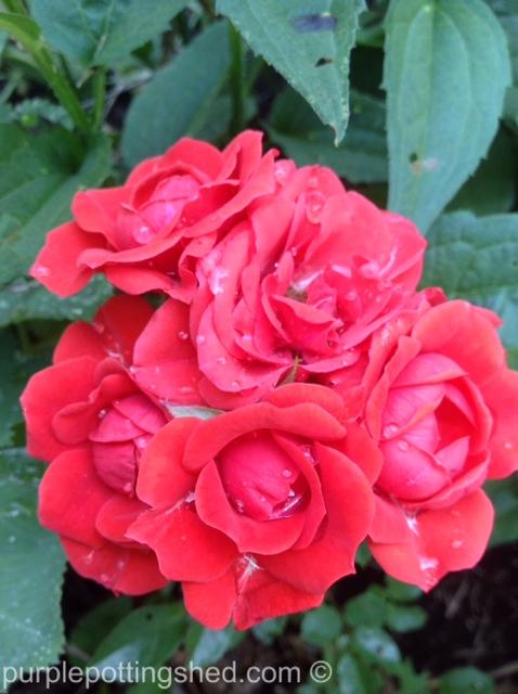 Roses, red cluster.jpg
