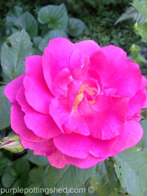 Shrub rose, neon pink.jpg
