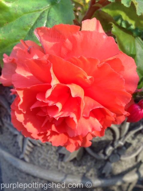 Begonia in coral.jpg