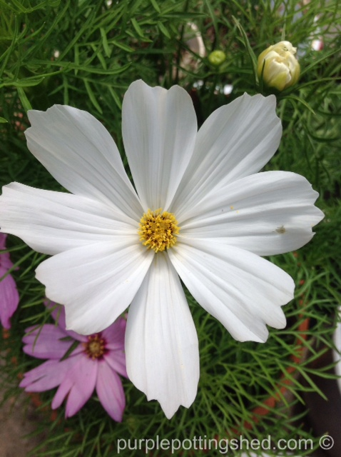 Cosmos in white.jpg