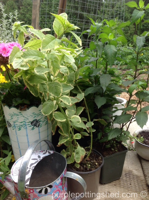 Loosestrife and turtlehead from the greenhouse.jpg