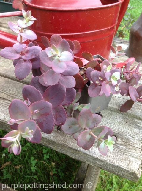 Sedum cherry tart, from the greenhouse.jpg