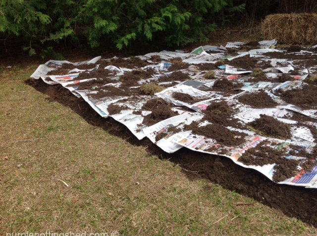 Hosta bed, edged and newspaper layer.jpg