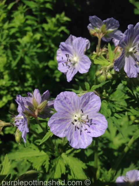 Hardy geranium 8.jpg
