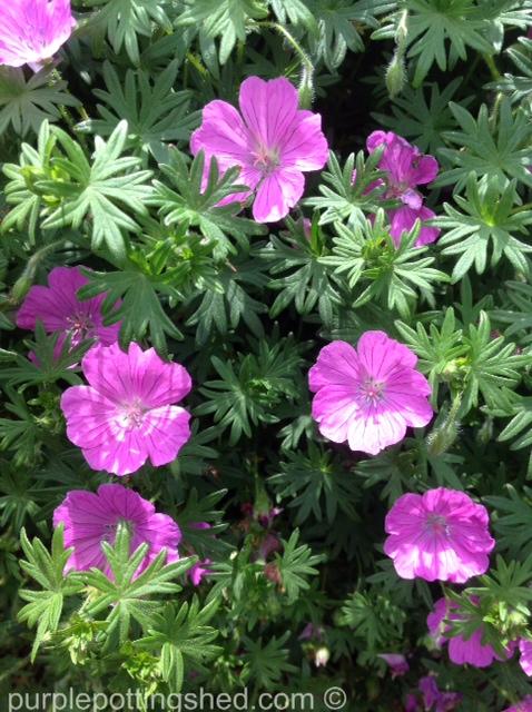 Hardy geranium 6.jpg