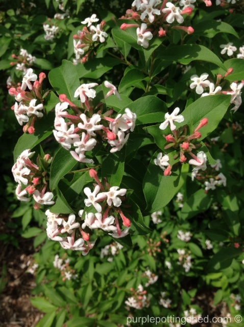 Abelia in bloom.jpg