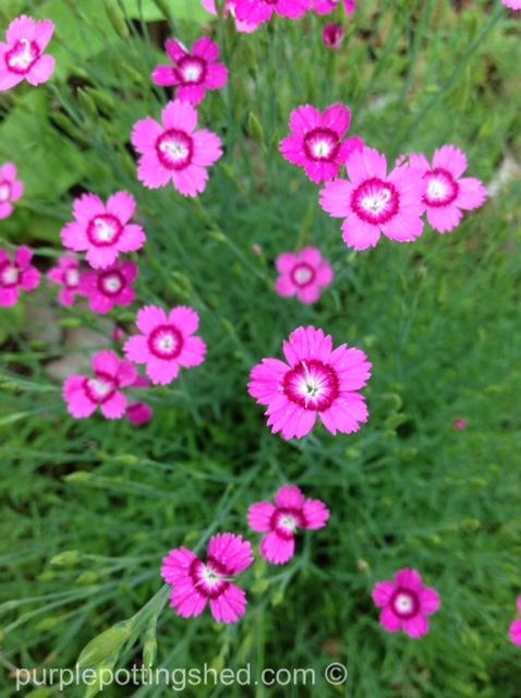 Pinks, or dianthus.jpg
