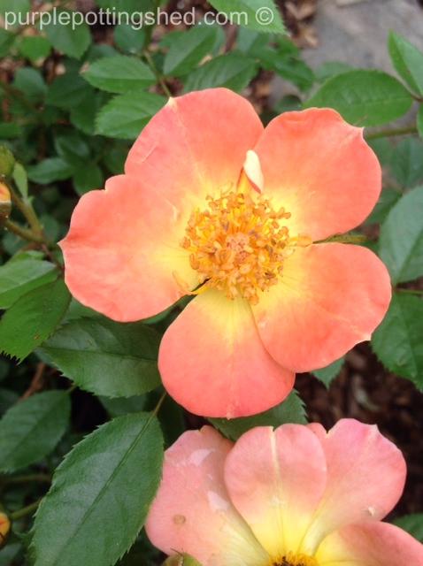 Rose, Oso Easy in paprika.jpg