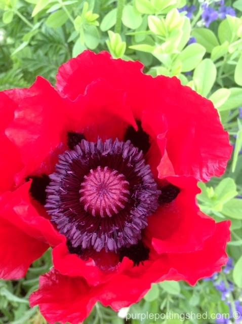 Oriental poppy 1.jpg