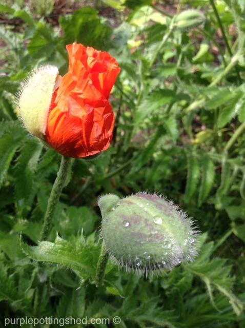 Oriental poppy 7.jpg