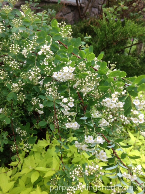 Bridal wreath spirea.jpg