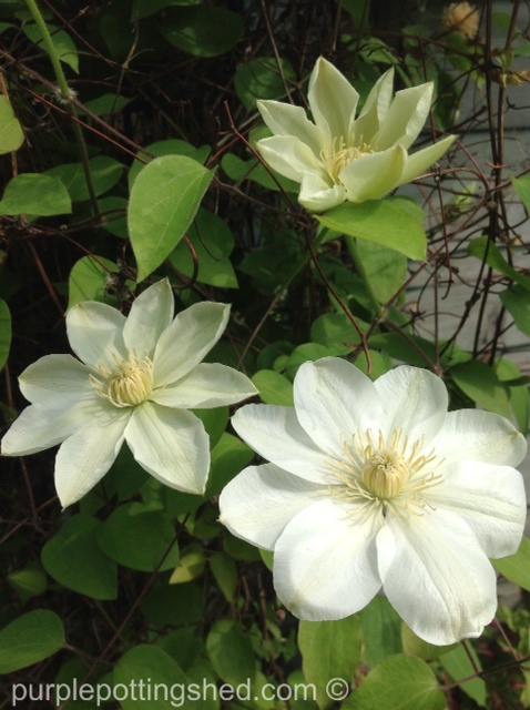 Clematis, spring blooming in creamy white.jpg