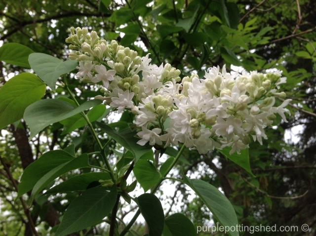 Lilac in white.jpg