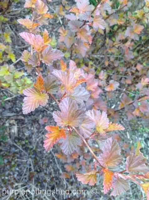 Ninebark, coppertina, spring.jpg