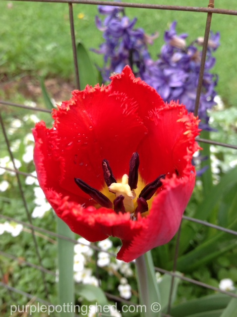 Tulip, frilled.jpg