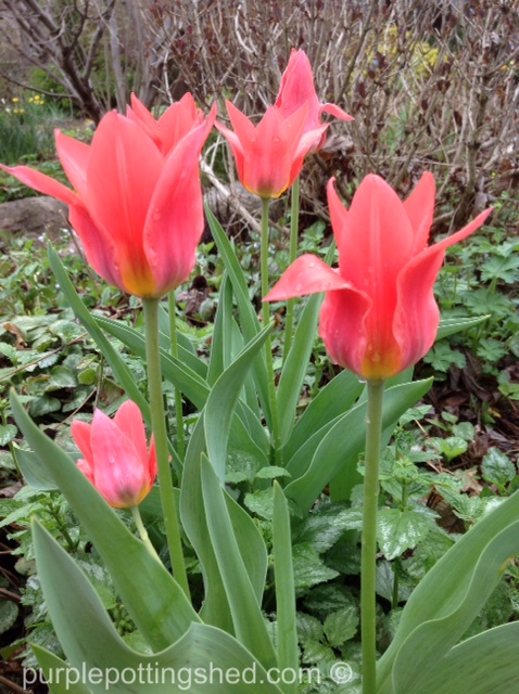 Tulips, lily form in pink.jpg