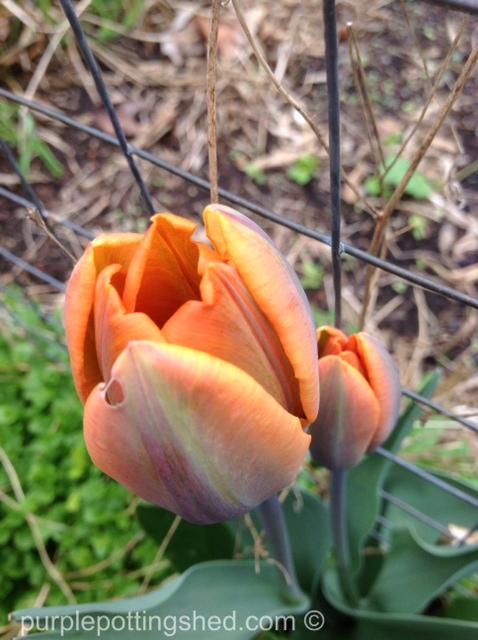 Tulips, orange pair.jpg