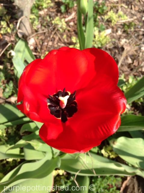 Tulip, open red.jpg