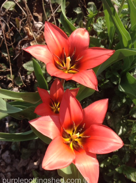 Tulips, coral.jpg