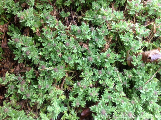Veronica or speedwell, ground cover, in bud.jpg