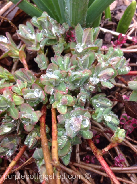 Cushion spurge pushing through.jpg