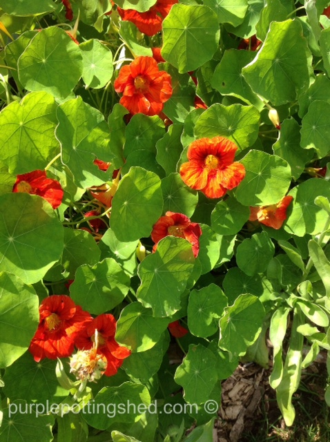 Nasturtium.jpg