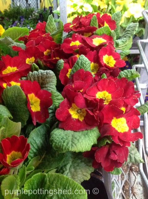 Primulas at the green house.jpg