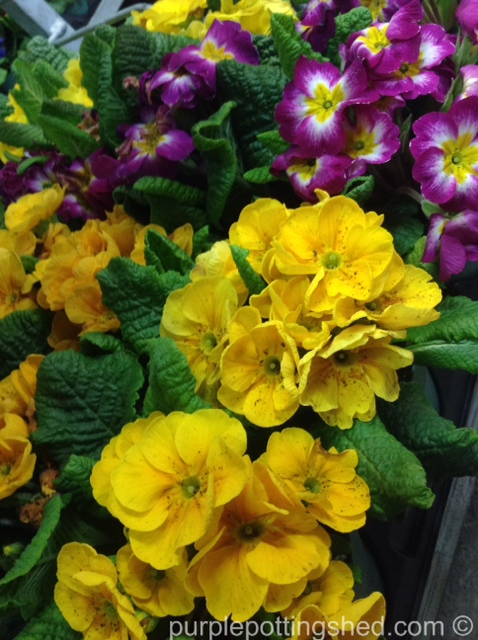Primulas at the green house, yellow.jpg
