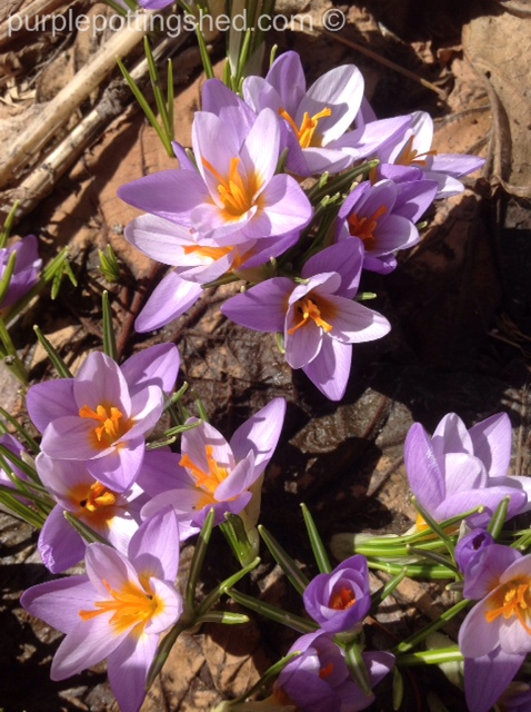 Crocus in mauve.jpg