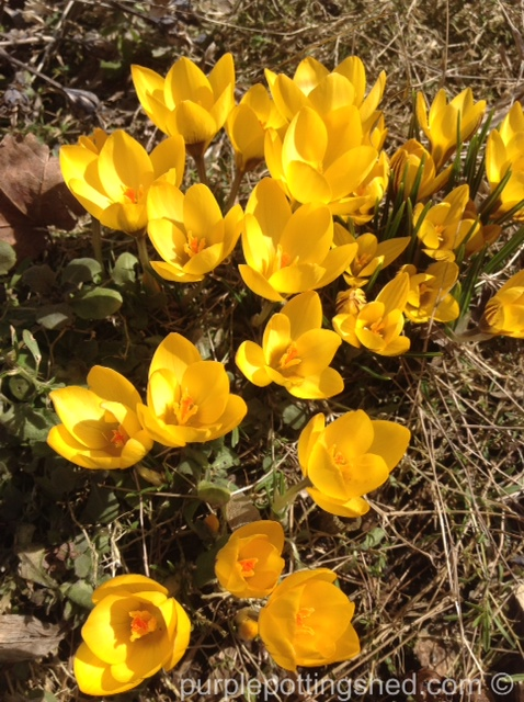Crocus in yellow.jpg