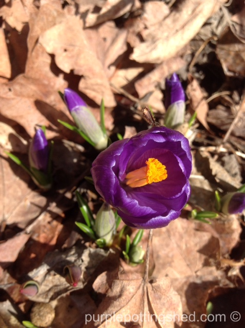 Crocus, single bloom.jpg