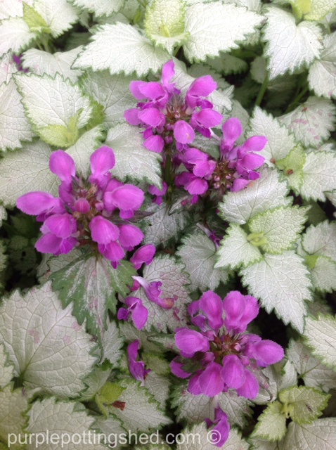 Lamium, purple bloom.jpg