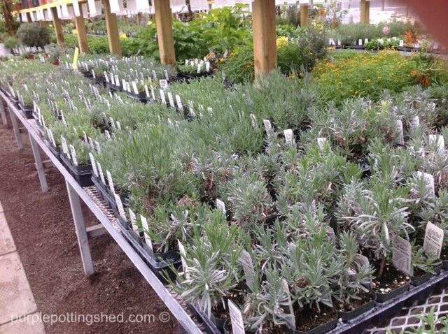 Richters lavender aisle.jpg