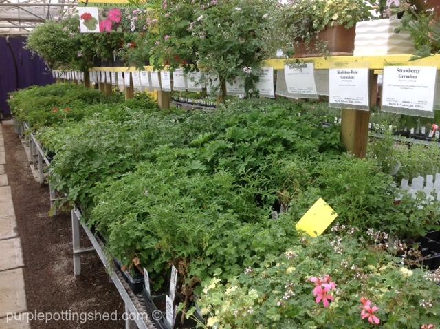 Richters scented geranium aisle.jpg