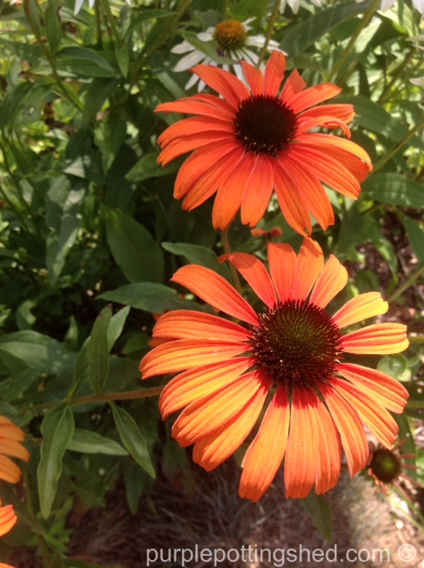 Coneflower, tangerine dream.jpg